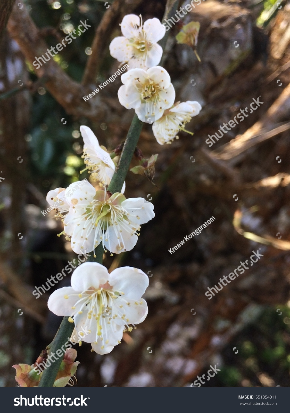 White Chinese Plum Flower With Select Focus Ez Canvas