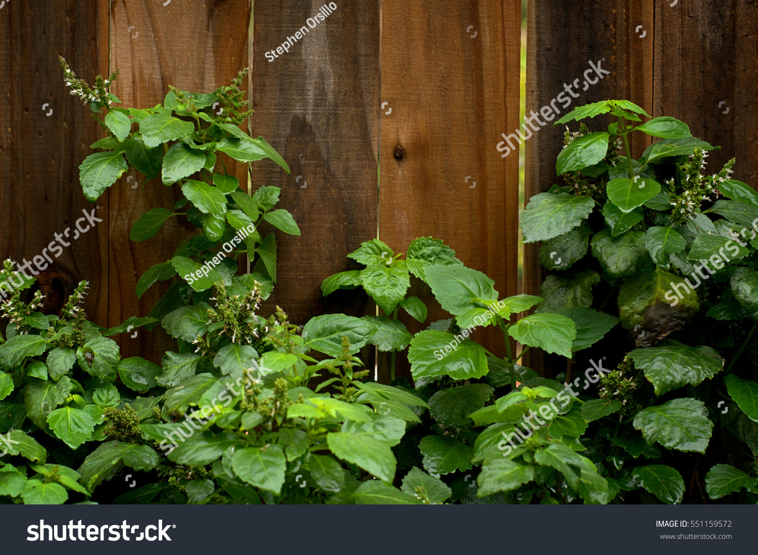 eye level view blooming patchouli plant stock photo 551159572