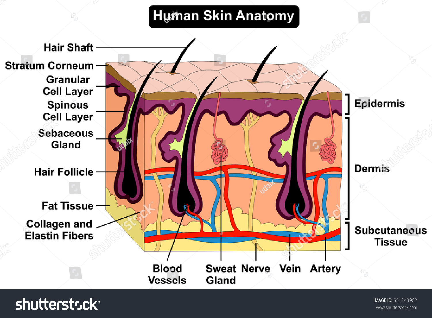 Human Skin Anatomy Cross Section Diagram Stock Illustration ...