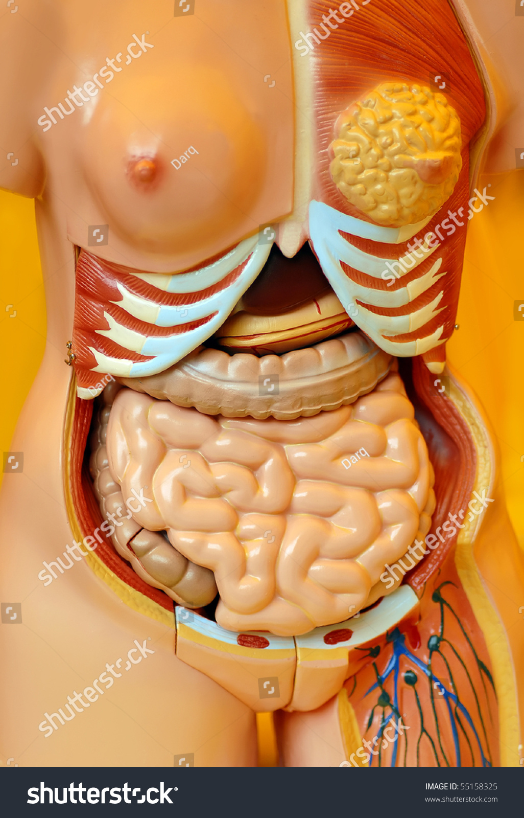 Organs Inside Female Body Learning Artificial Stock Photo (Royalty ...