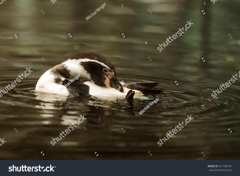 Humboldt Penguin in the water