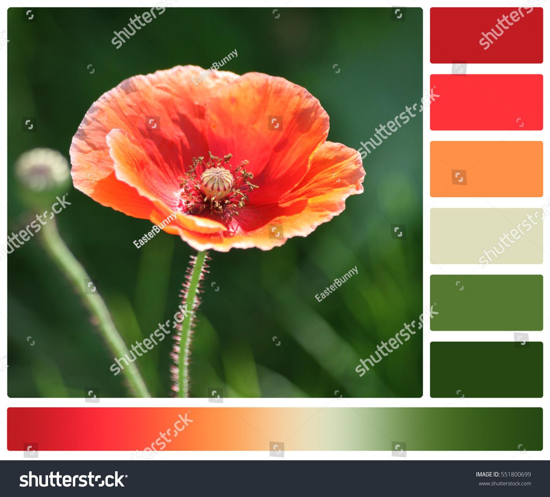 Orange Poppy Flower Palette Complimentary Color Stock Photo Edit