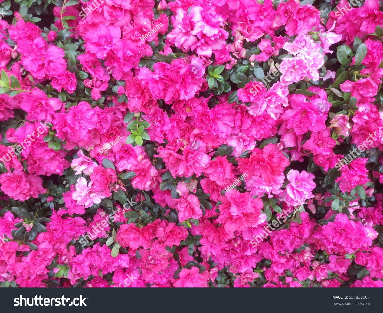 Background Beautiful Pink Azalea Flowers Stock Photo Royalty Free