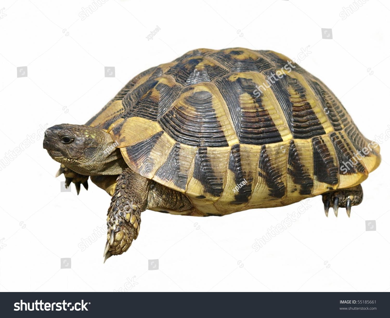 turtle white background - photo #13