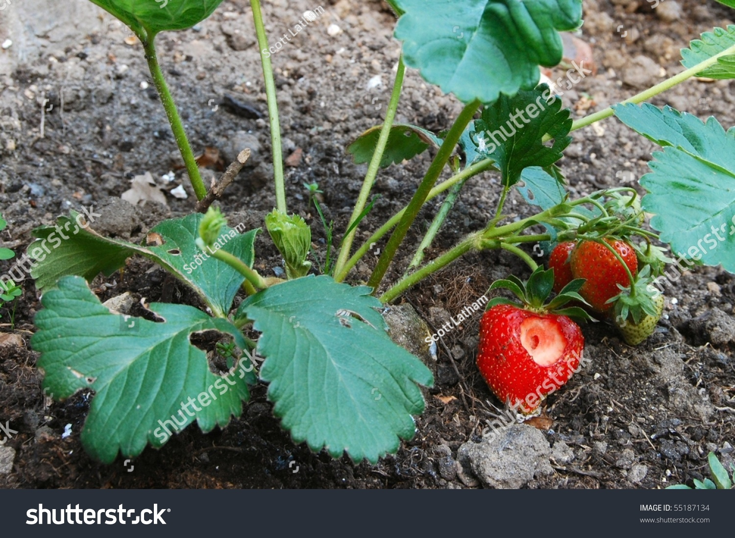 how to get more strawberries from plant