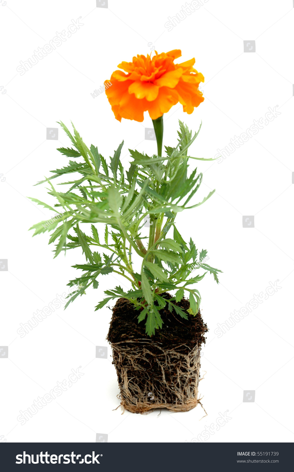 Marigold With Roots In Soil Stock Photo 55191739 ... Marigold Plant With Roots