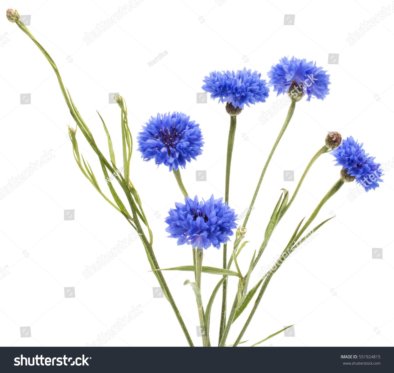 Scabiosa Columbaria Pincushion Flower Ez Canvas