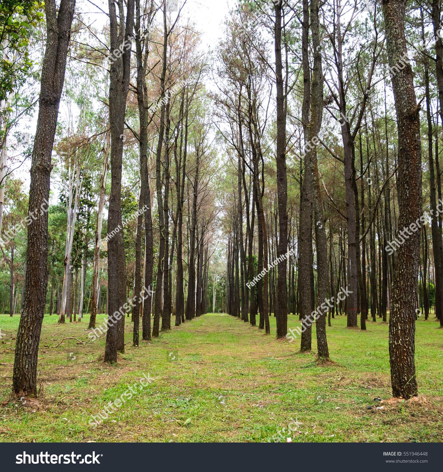 Pine Tree Garden Green Nature Background Stock Photo (Royalty Free ...