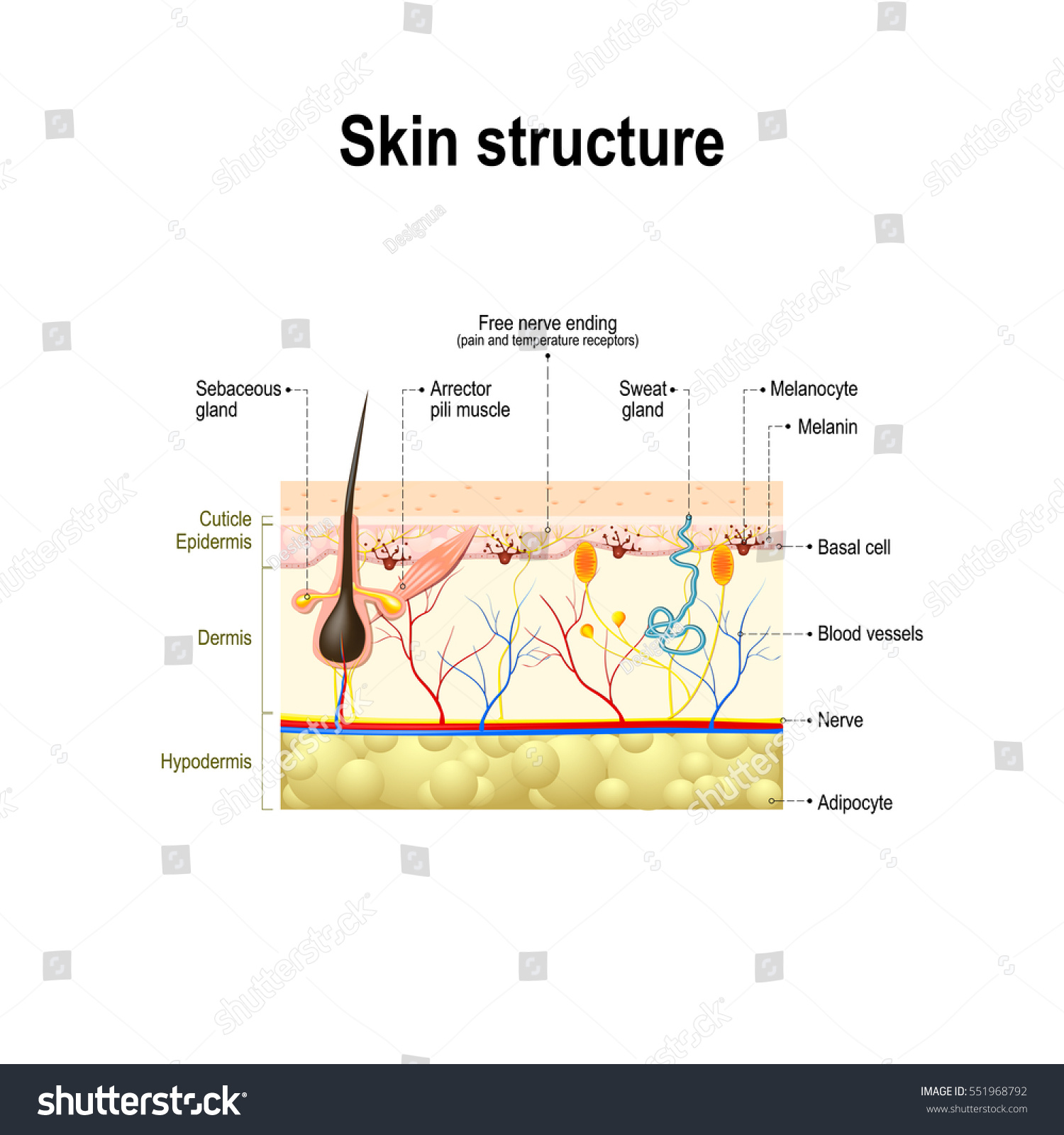 Human Skin Hair Structure Cross Section Stock Vector Royalty Free