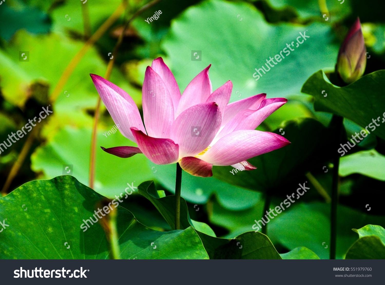 Lotus Flower Garden China Stock Photo Edit Now 551979760