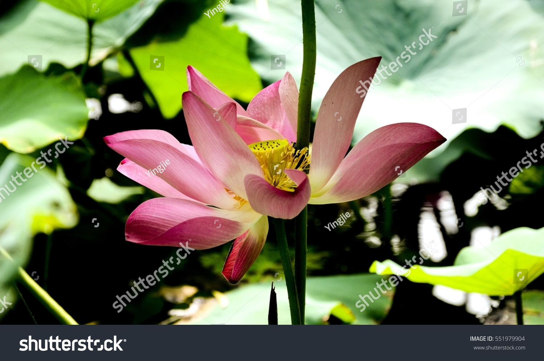 Lotus Flower Garden China Stock Photo Edit Now 551979904