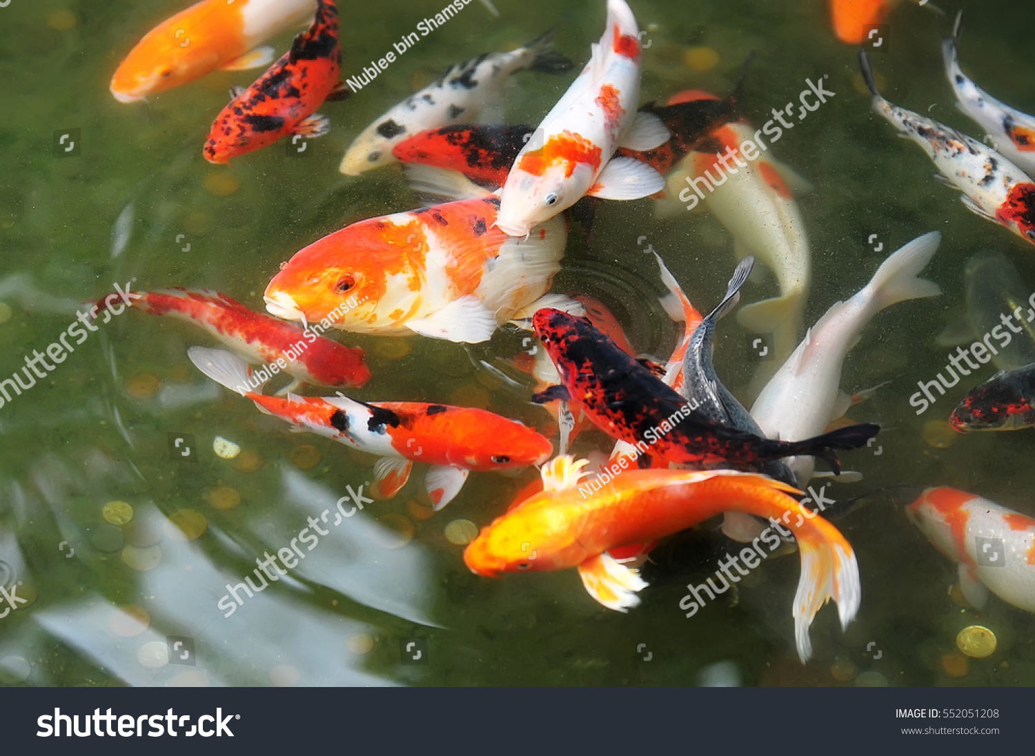 Colorful carp fish koi fish shallow stock photo 552051208 for Colorful pond fish