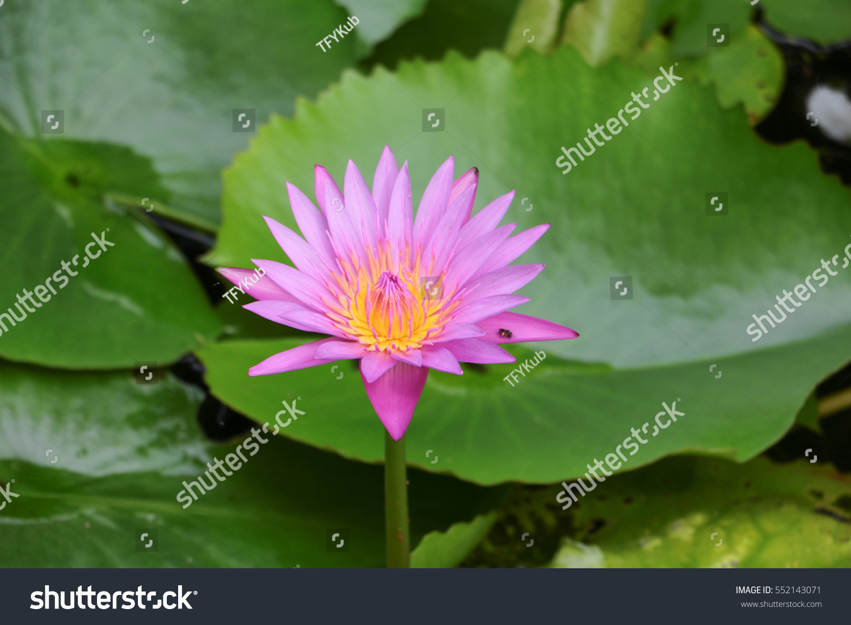 Lotus Flower Leaves Stock Photo Royalty Free 552143071 Shutterstock