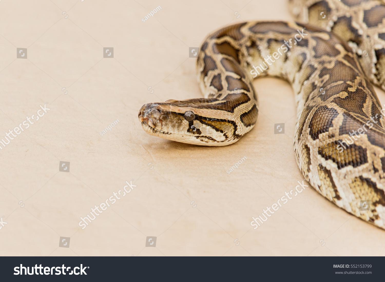 Big Reticulated Python Or Boa On Floor