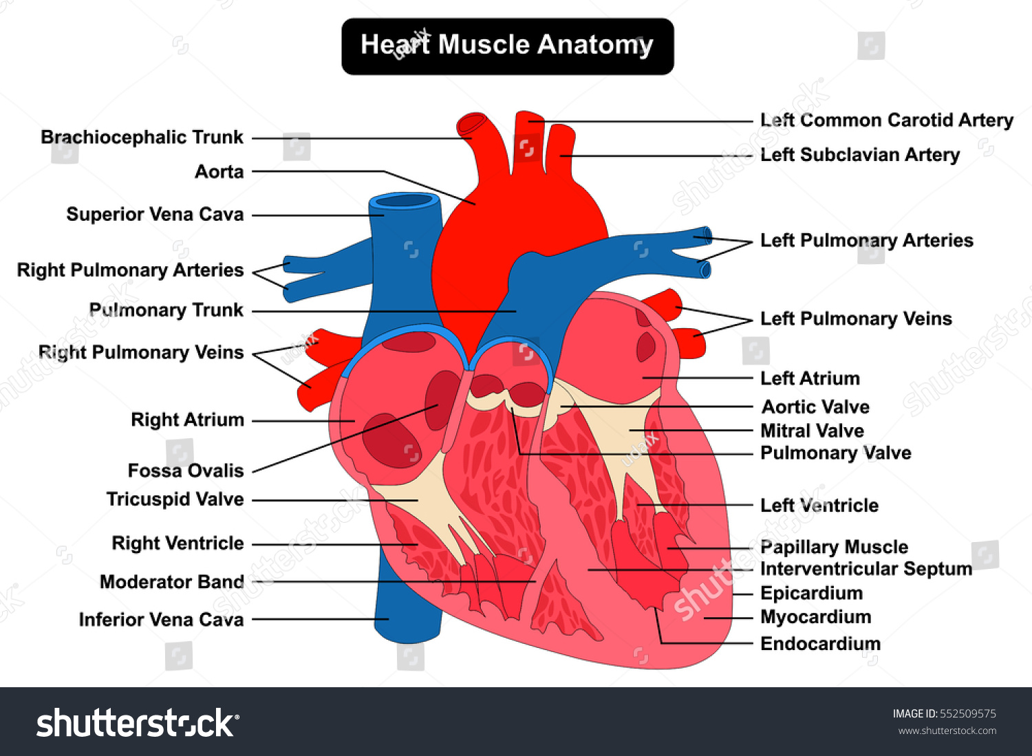human heart muscle anatomy infographic chart figure with all parts, Muscles