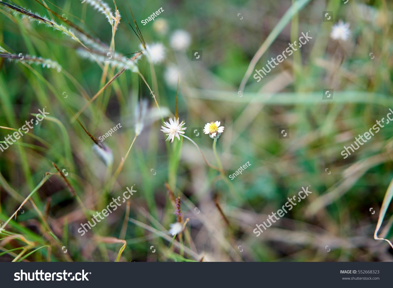 White Flowers Grass Stock Photo Edit Now 552668323 Shutterstock
