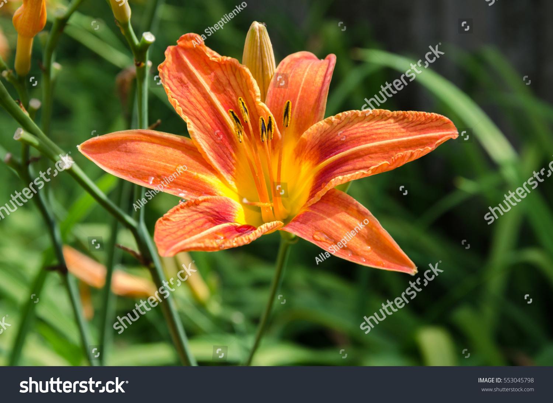 Summer Flower Garden Flowers Spring Flowers Orange Lily Garden