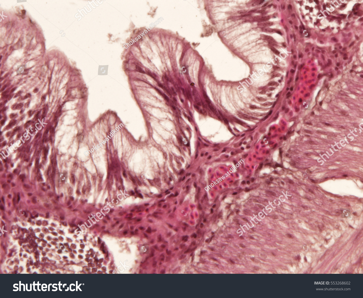 Intestine Animal Tissue Under Microscope View Stock Photo