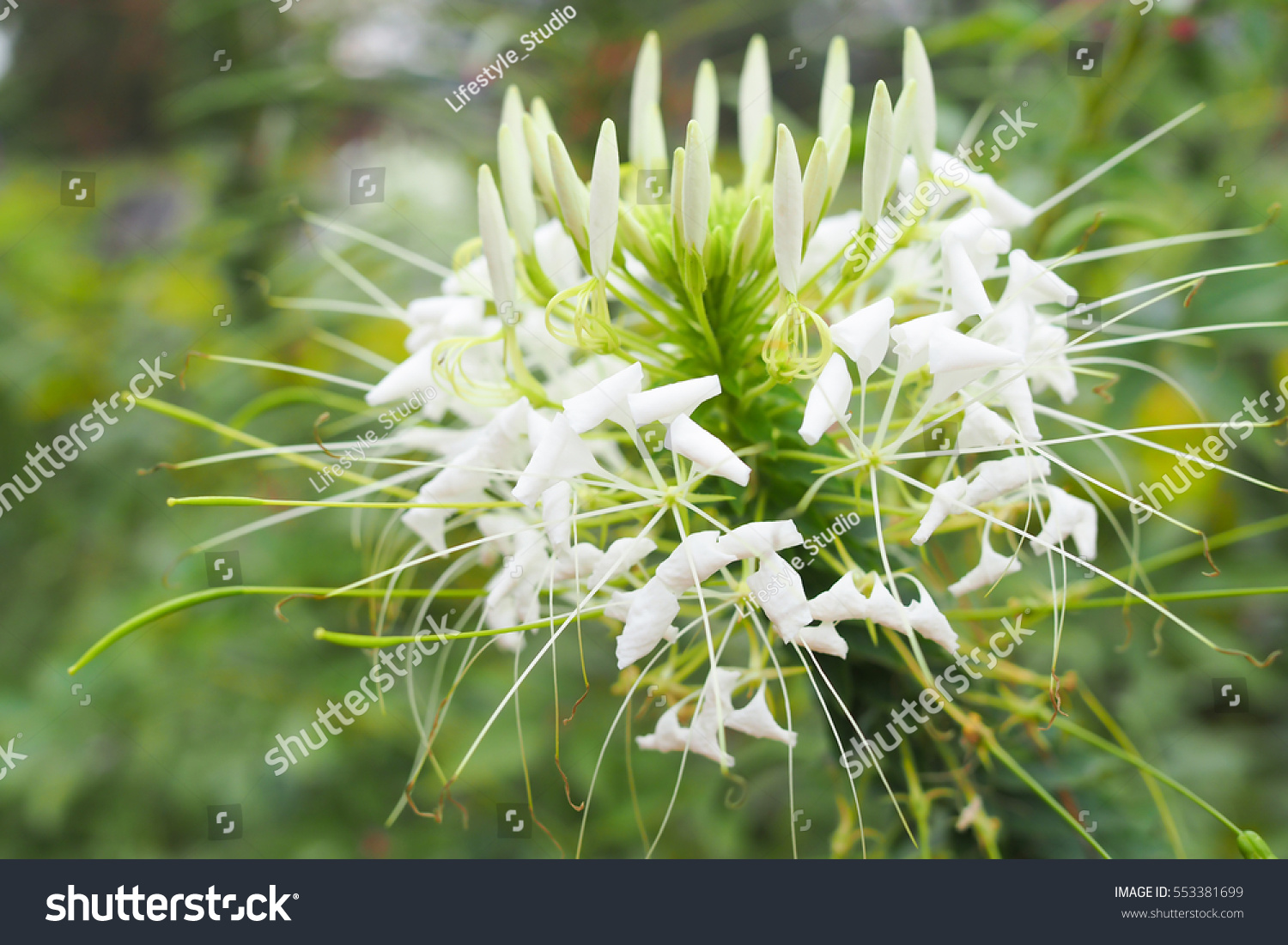 Beautiful white spider flower garden cleome stock photo 553381699 beautiful white spider flower in garden cleome hassleriana mightylinksfo