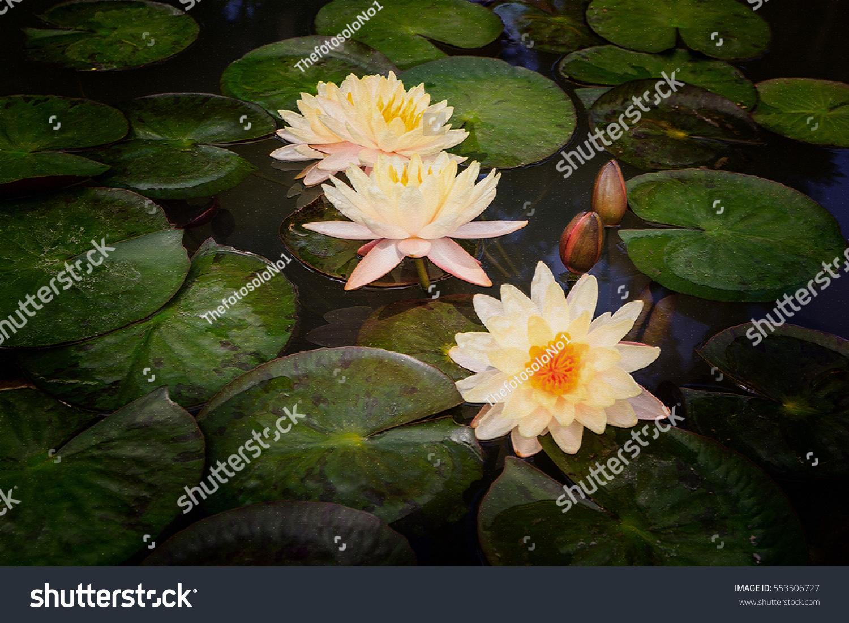Watercolour Painting Beautiful Waterlily Lotus Flower Stock