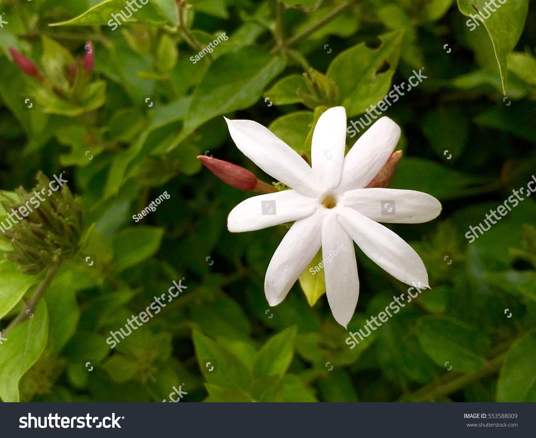 Star Jasmine Flower Park Stock Photo Edit Now 553588009 Shutterstock