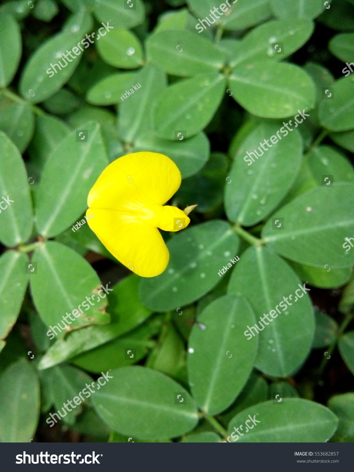 Royalty Free The Yellow Flower Of Golden Glory 553682857 Stock