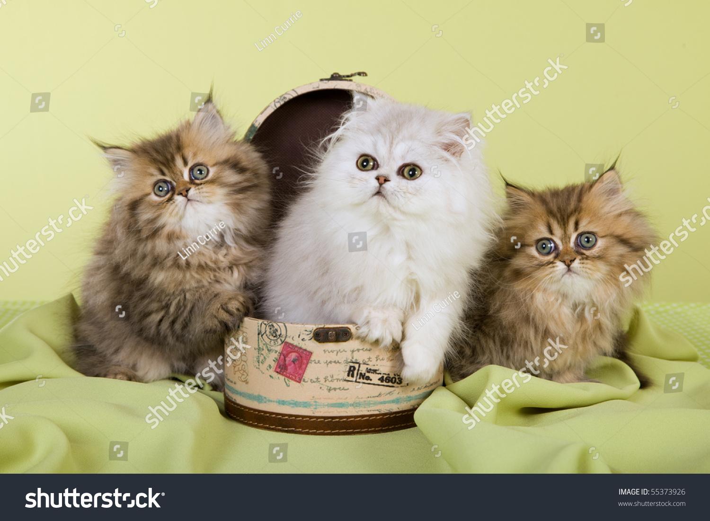 3 Cute Chinchilla Persian Kittens Mini Stock
