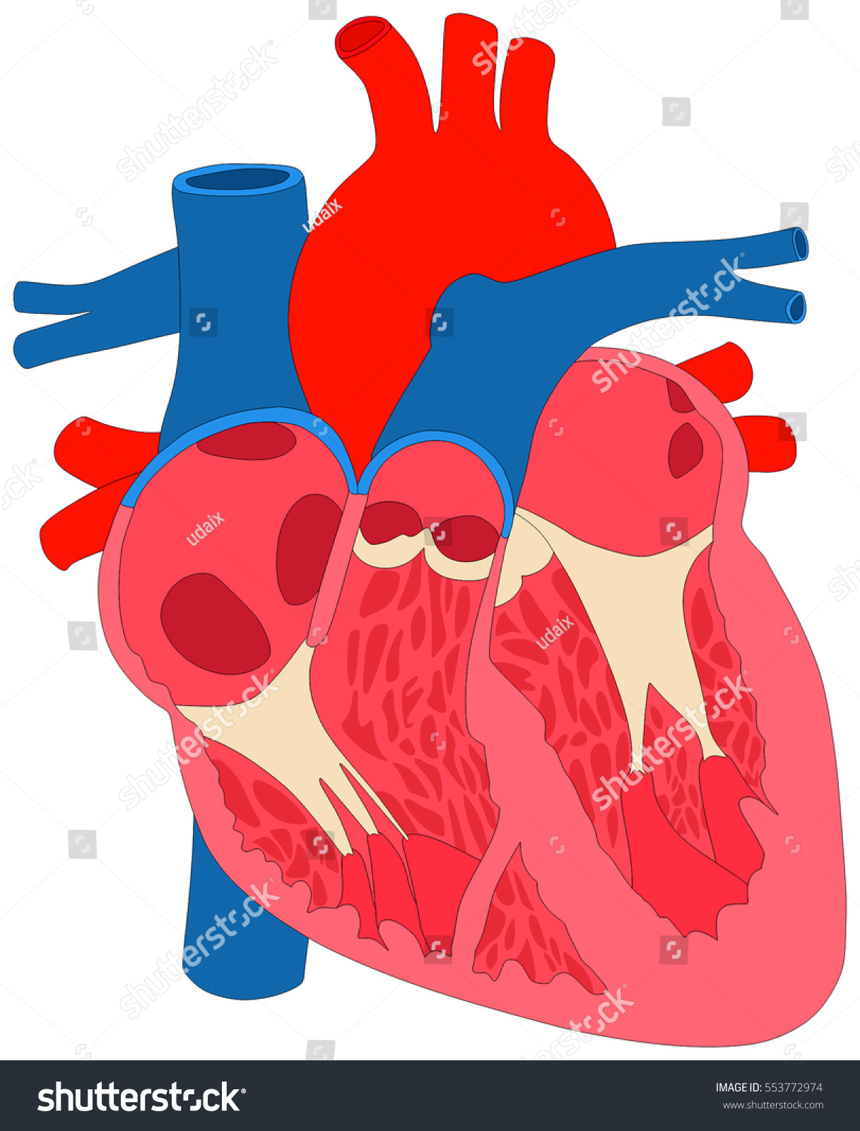 Human Heart Muscle Anatomy Cross Section Stock Illustration
