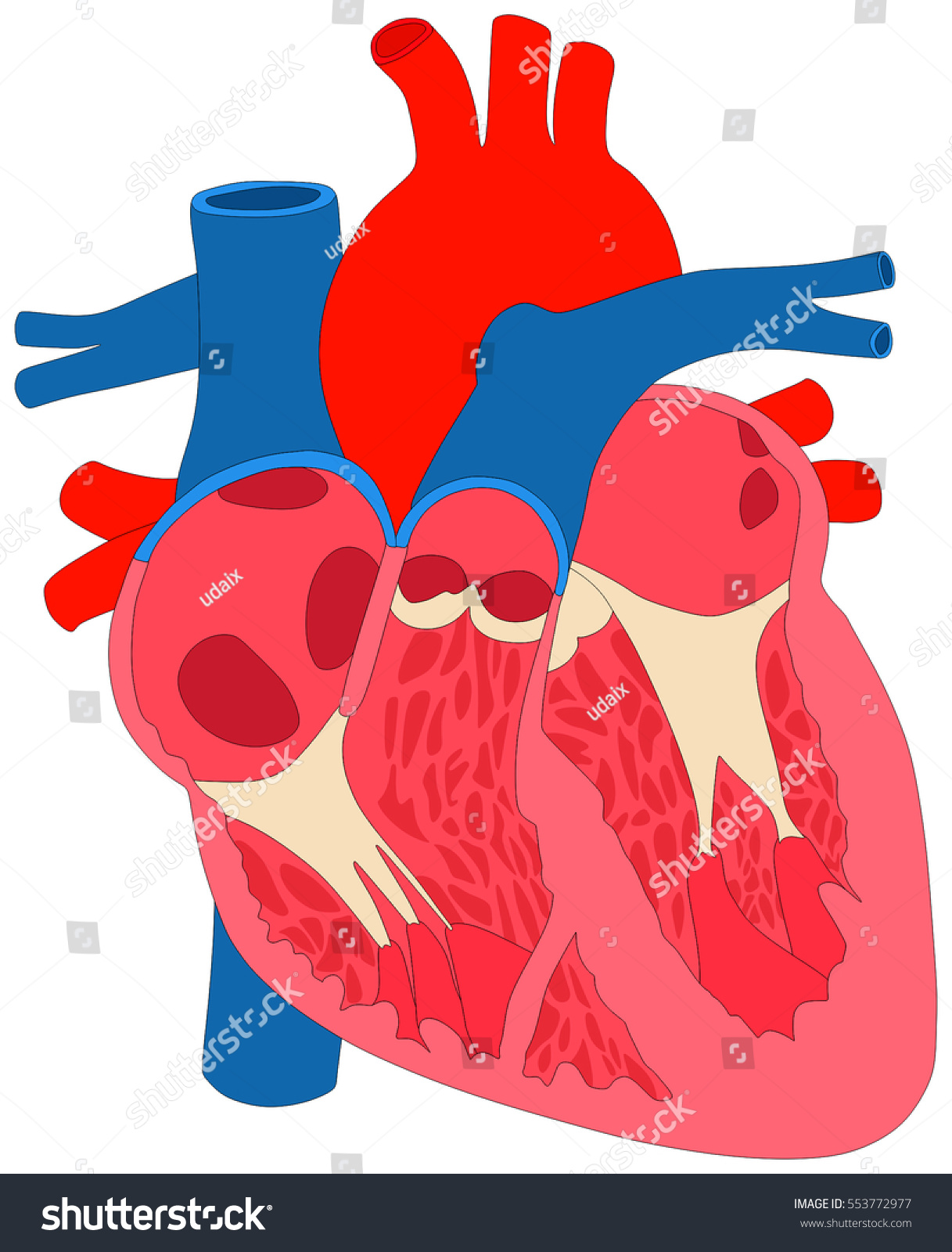 Human Heart Muscle Anatomy Cross Section Stock Vector Royalty Free