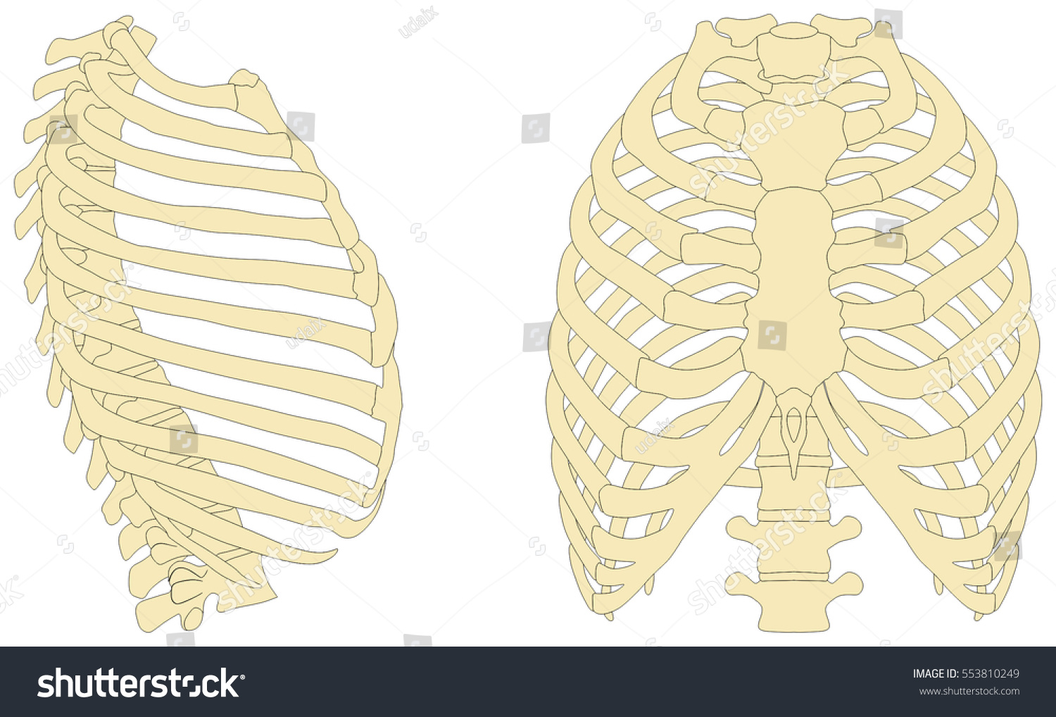 Human Rib Cage Anatomy Anterior Right Stock Illustration 553810249 ...