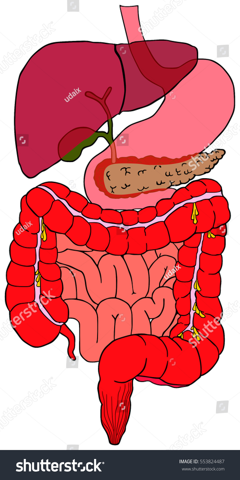 Human Digestive System Tract Vector Diagram Stock Vector Royalty