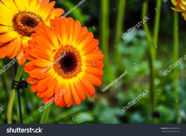 Yellow And Orange Gerbera Flower On The Flower Farm Gerbera Flower