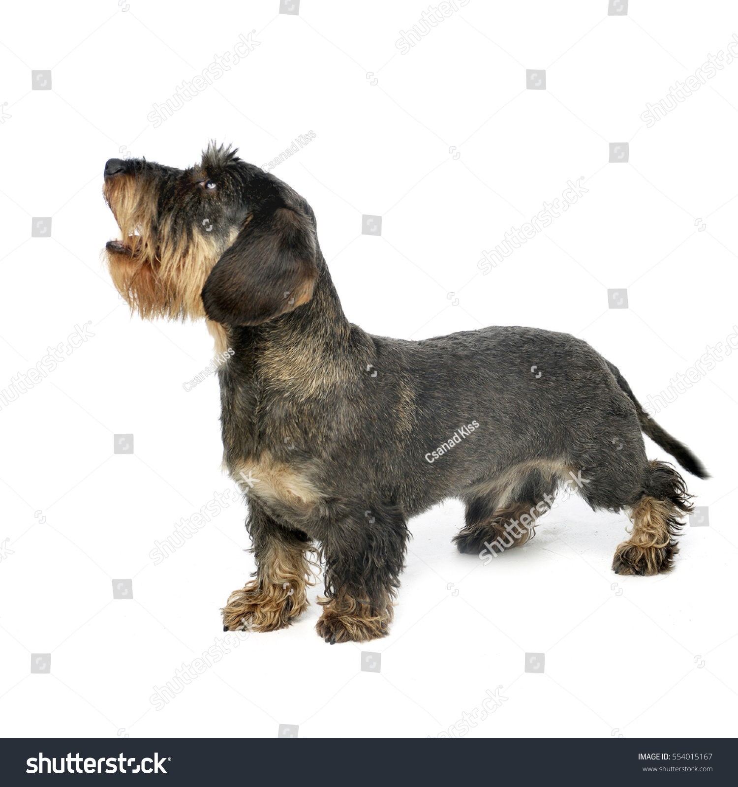 Studio Shot Adorable Wire Haired Dachshund Stock Photo (Safe to Use ...