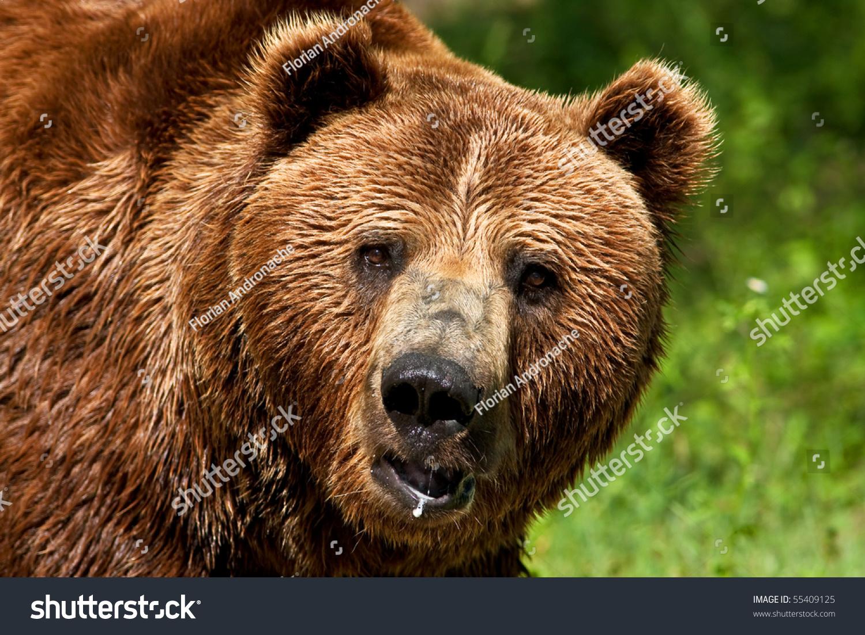 Beautiful Scenery Imposing Brown Bear Looking For Food In ...  |Brown Bear Food