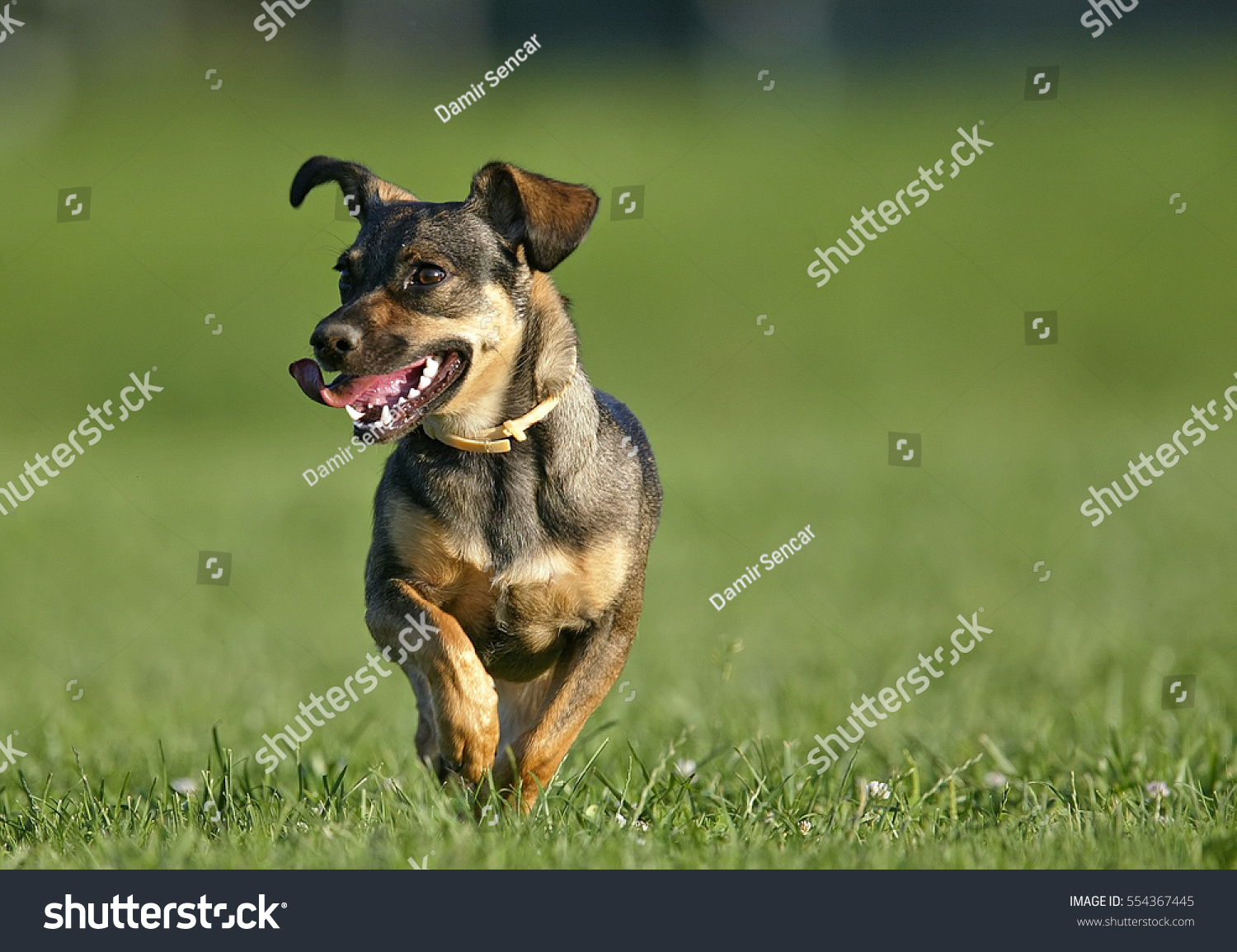 Cute Dog Running On Grass With Tongue Out Of Mouth Ez Canvas