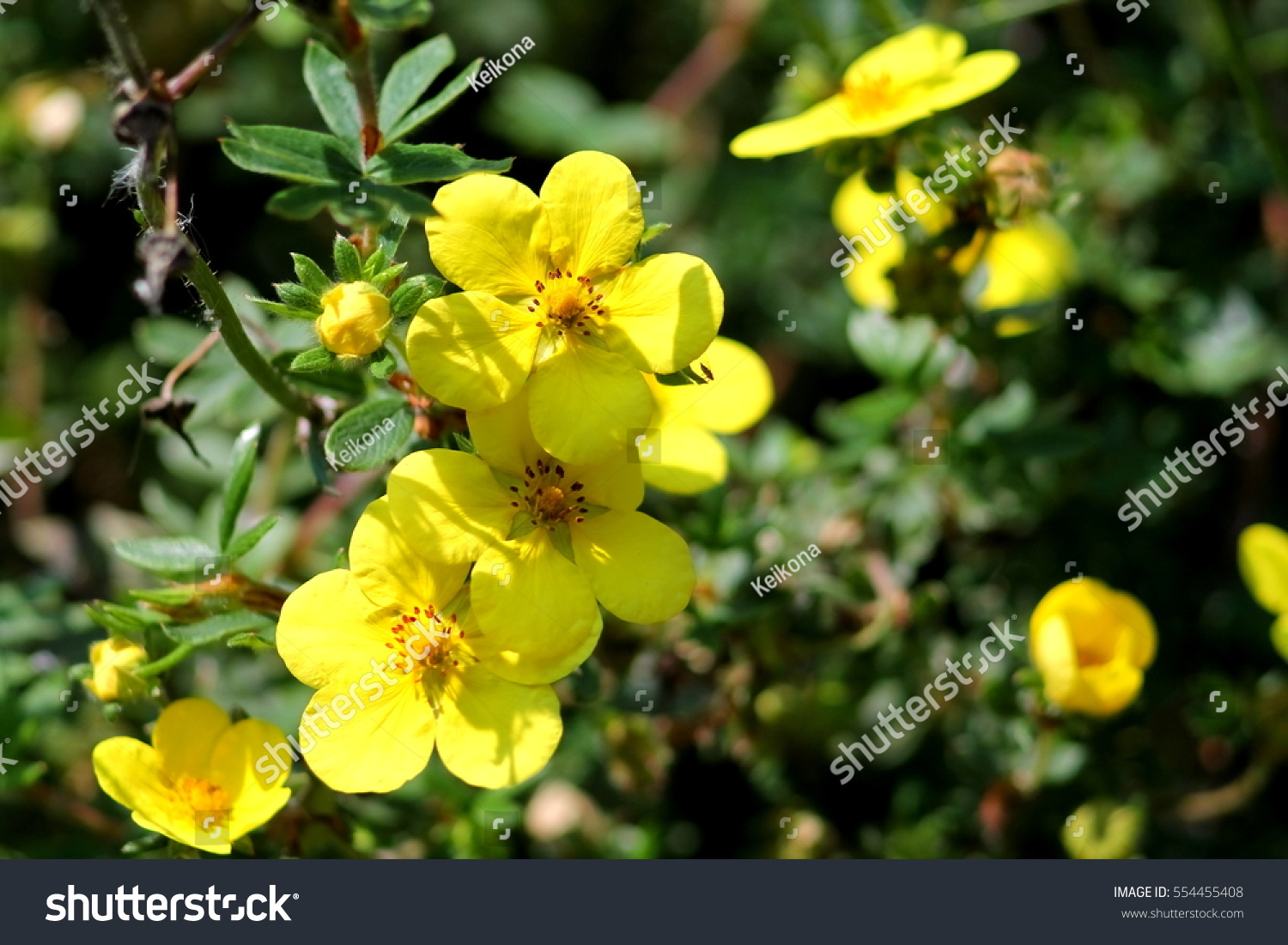 Yellow Round Five Petals Flowers Dasiphora Stock Photo Edit Now