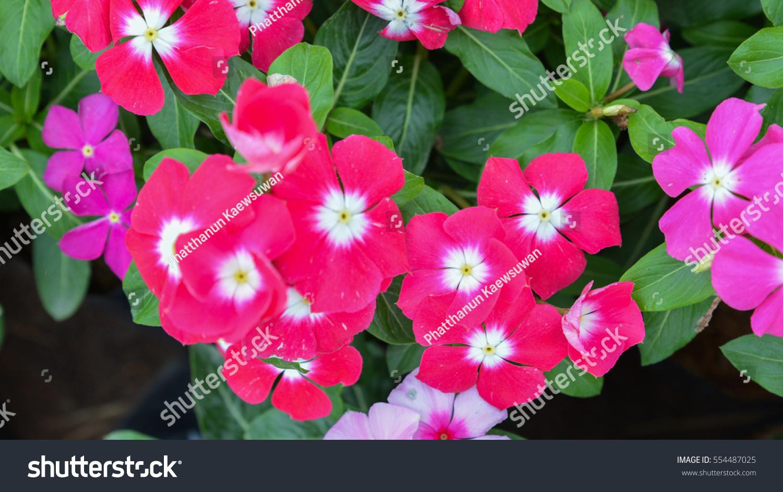 Beautiful Pink Vinca Flower Field In Public Garden Madagascar