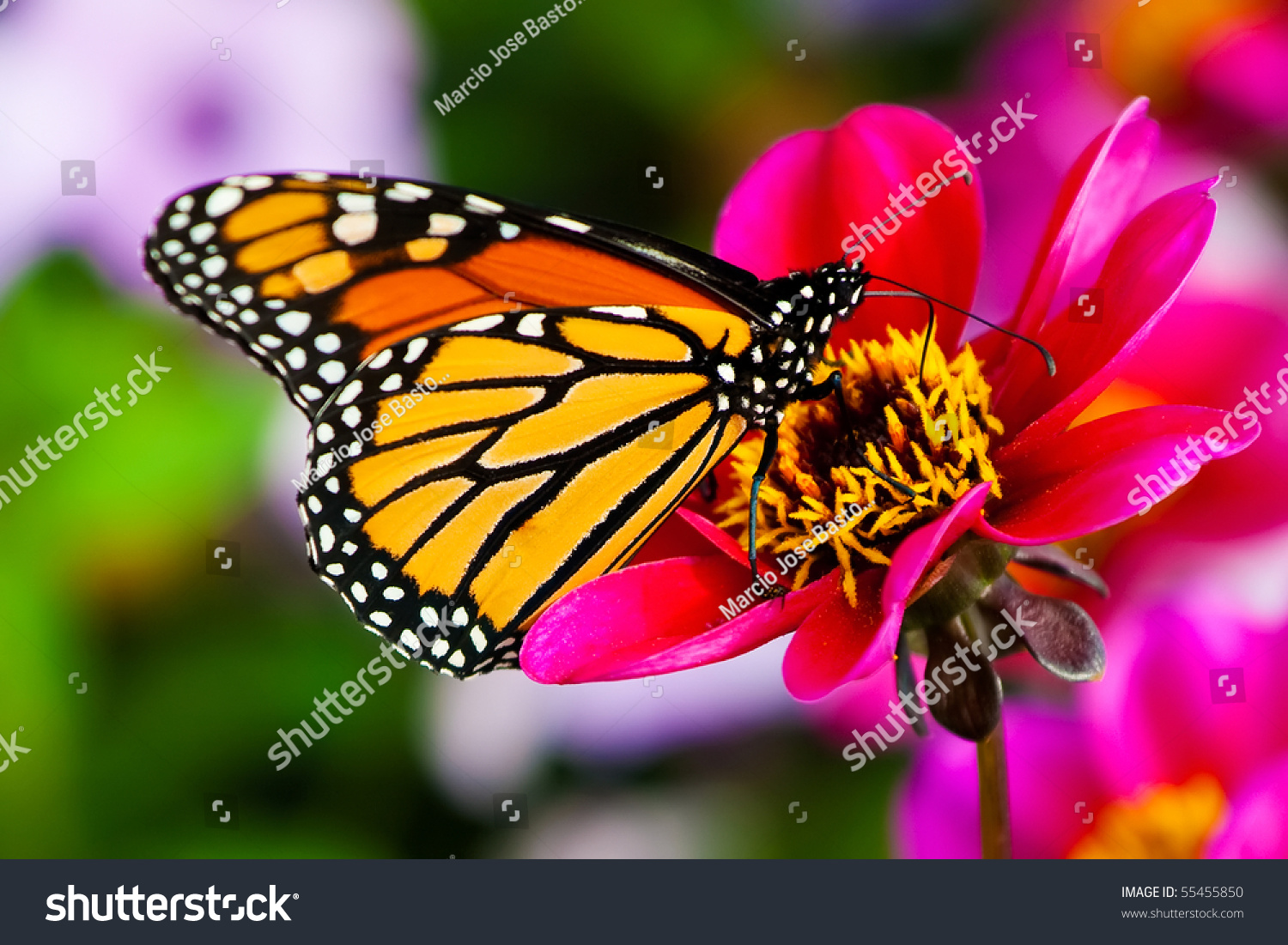 Monarch butterfly on flower stock photo 55455850 for Butterfly in a flower