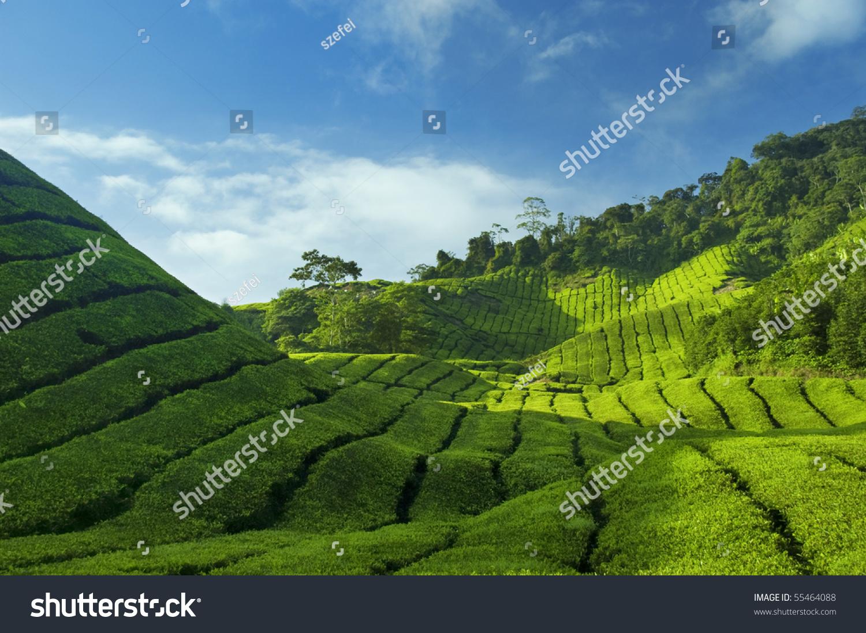 Tea Plantations At Cameron Highlands Malaysia, Asia. Stock ...