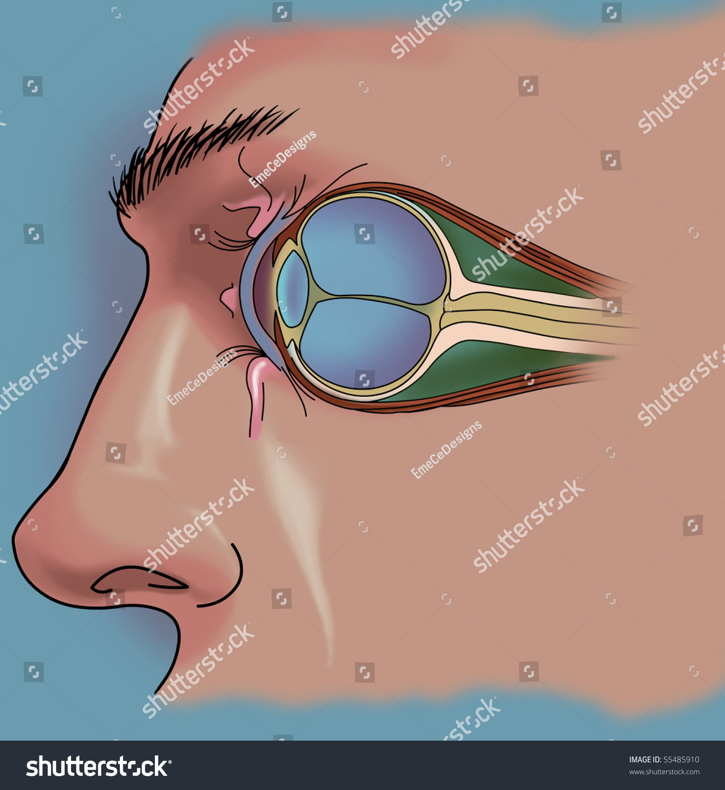 Anatomy Eye Cutaway View Stock Illustration 55485910 - Shutterstock