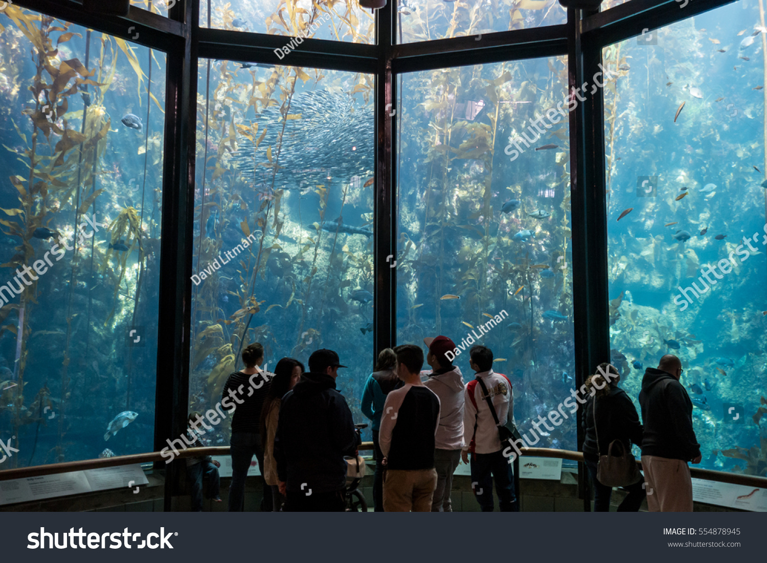 Monterey, California - January 12, 2017: Tourists enjoy the Kelp Forest exhibit at the Monterey Bay Aquarium which highlights ocean life in the local Pacific Coast kelp beds,  It is 28 feet deep.