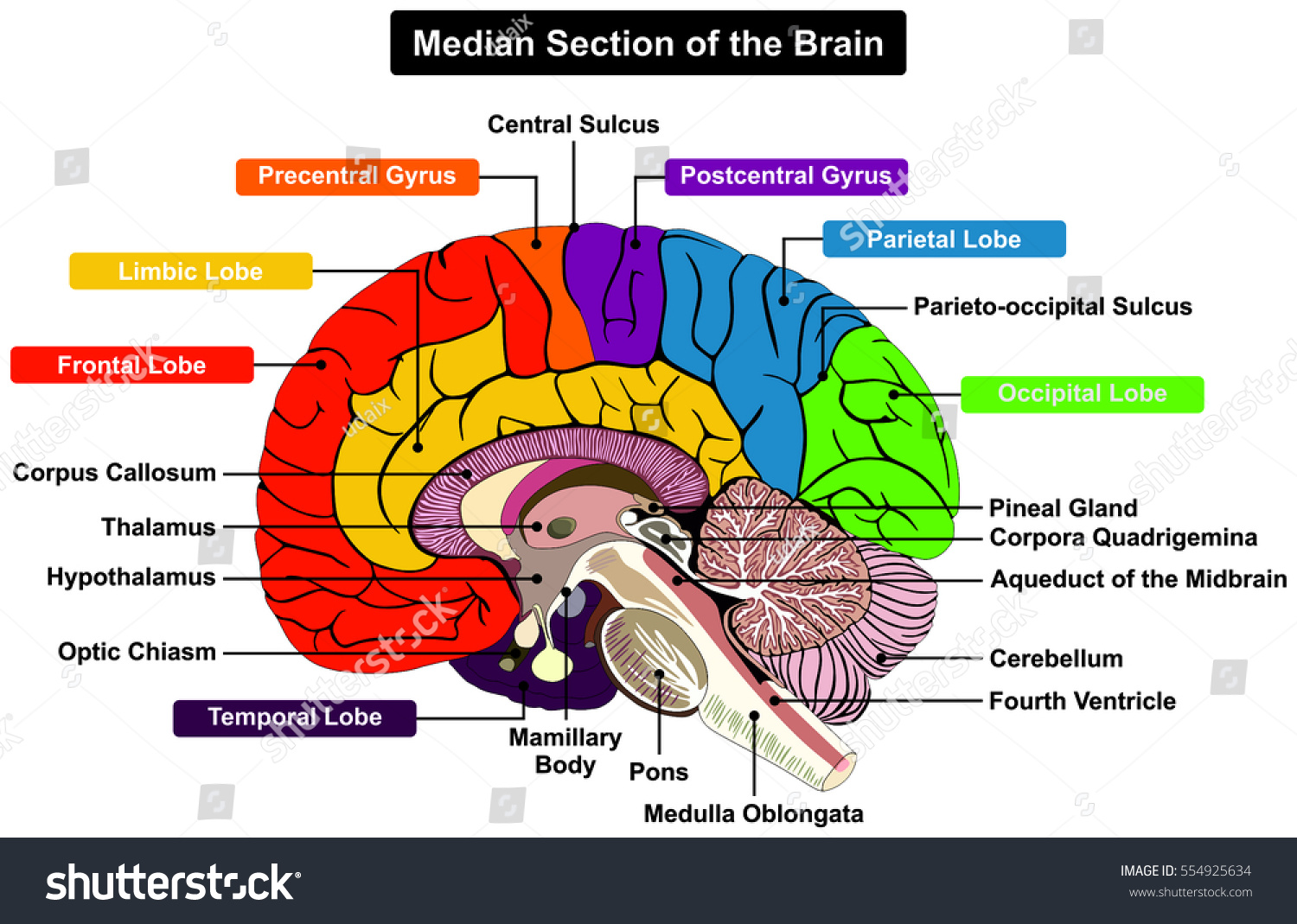 median section human brain anatomical structure stock vectormedian section of human brain anatomical structure diagram infographic chart with all parts cerebellum thalamus,