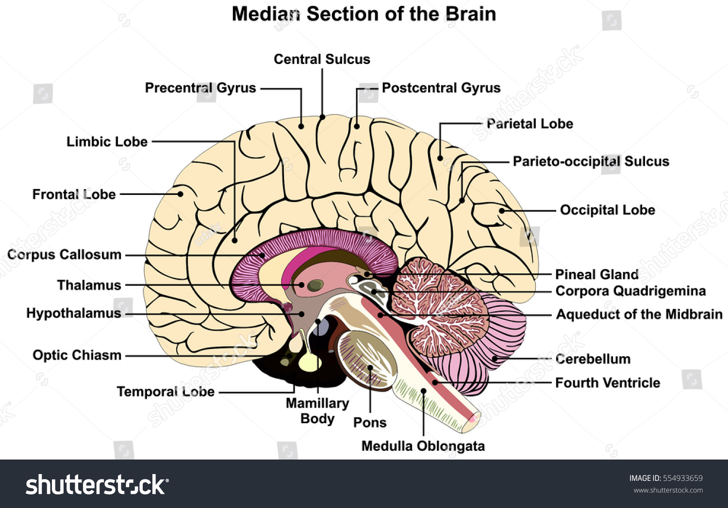 Median Section Human Brain Anatomical Structure Stock Vector ...