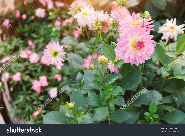 Close Pink Dahlia Flower Blossom On Stock Photo 554975467 Shutterstock