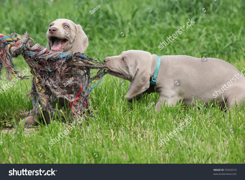 Puppies Weimaraner Playing Stock Photo 55503310 Shutterstock