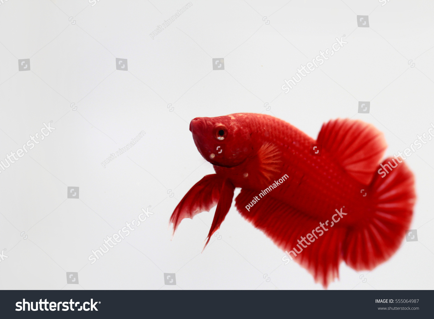 Red Color Betta Fish Stock Photo (Royalty Free) 555064987 - Shutterstock