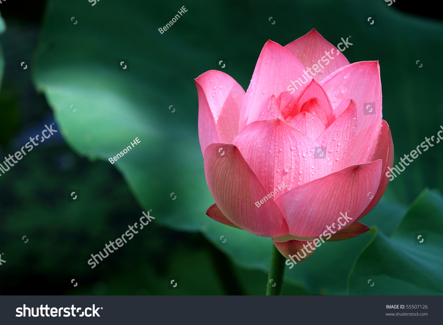 Red Lotus Flower Among Green Foliage Stock Photo Edit Now 55507126