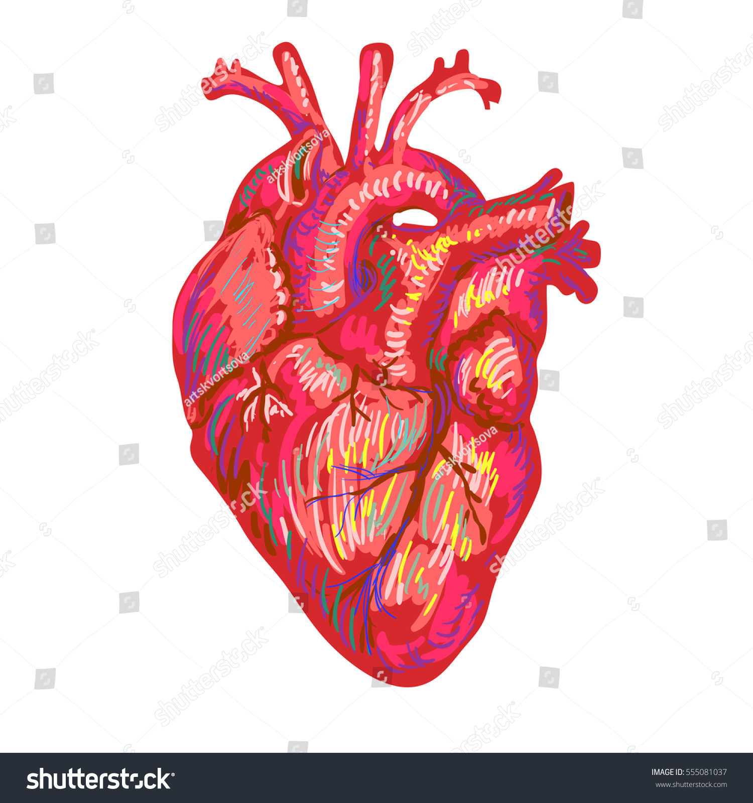 Human Heart Sketch Design Medical Anatomical Stock Vector Royalty