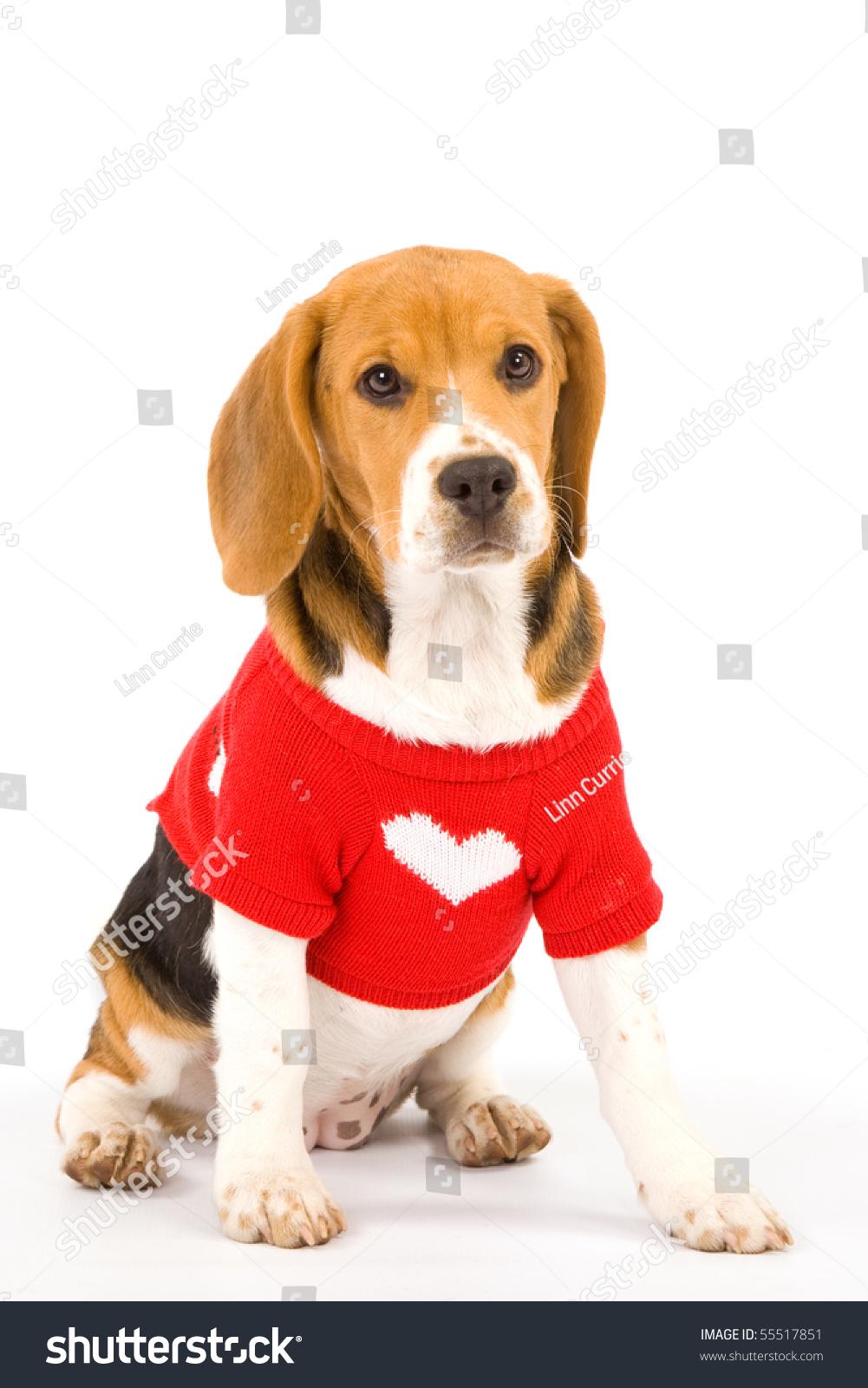 Sad Beagle Puppy Red Sweater On Stock Photo Edit Now 55517851