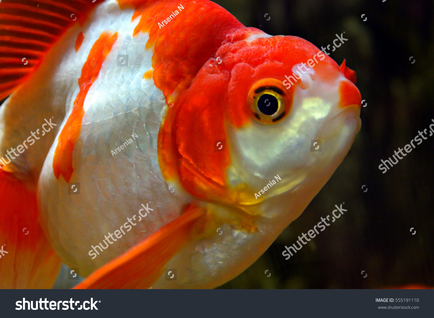 Fish Little Red Riding Hood Aquarium Stock Photo (Royalty Free ...